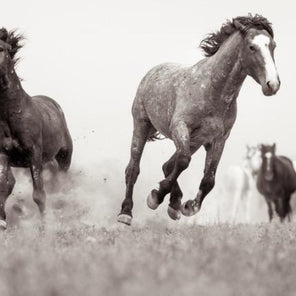 A black and white image of two horses galloping towards the viewer. The galloping horse have thrown small particles of dirt and grass up into the air around them. There is a small group of out of focus horses in the background on the right side of the image.