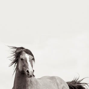 Black and white vertical image of a horse galloping in front of a white back ground.