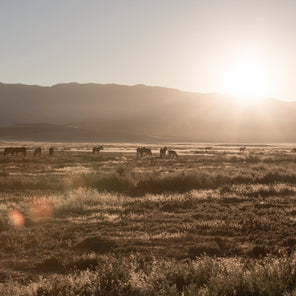 A landscape shot of a desert sunrise, off in the distance is a herd of horses grazing.
