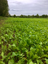 Rack Radishes - Food Plot Seed