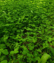 Red Hot Chic - Food Plot Seed