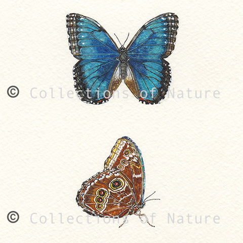 Blue Morpho Butterfly *Limited Edition*