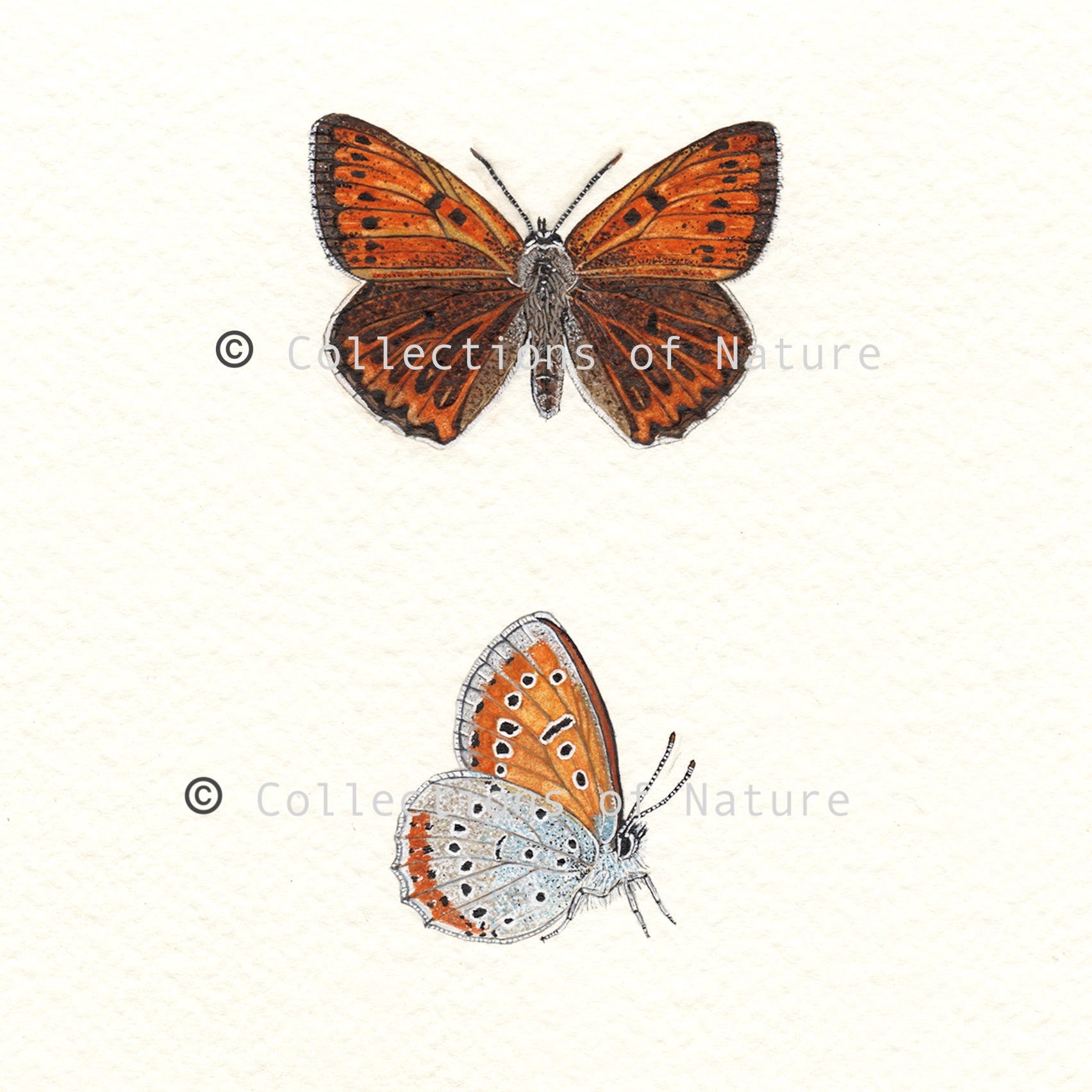Large Copper Race Butterfly *Limited Edition*