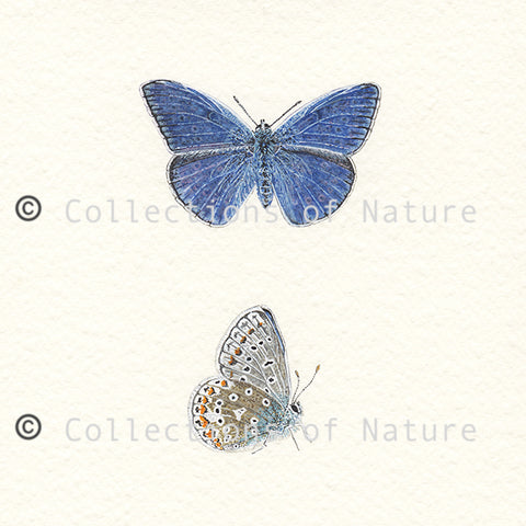 Common Blue Butterfly *Limited Edition*