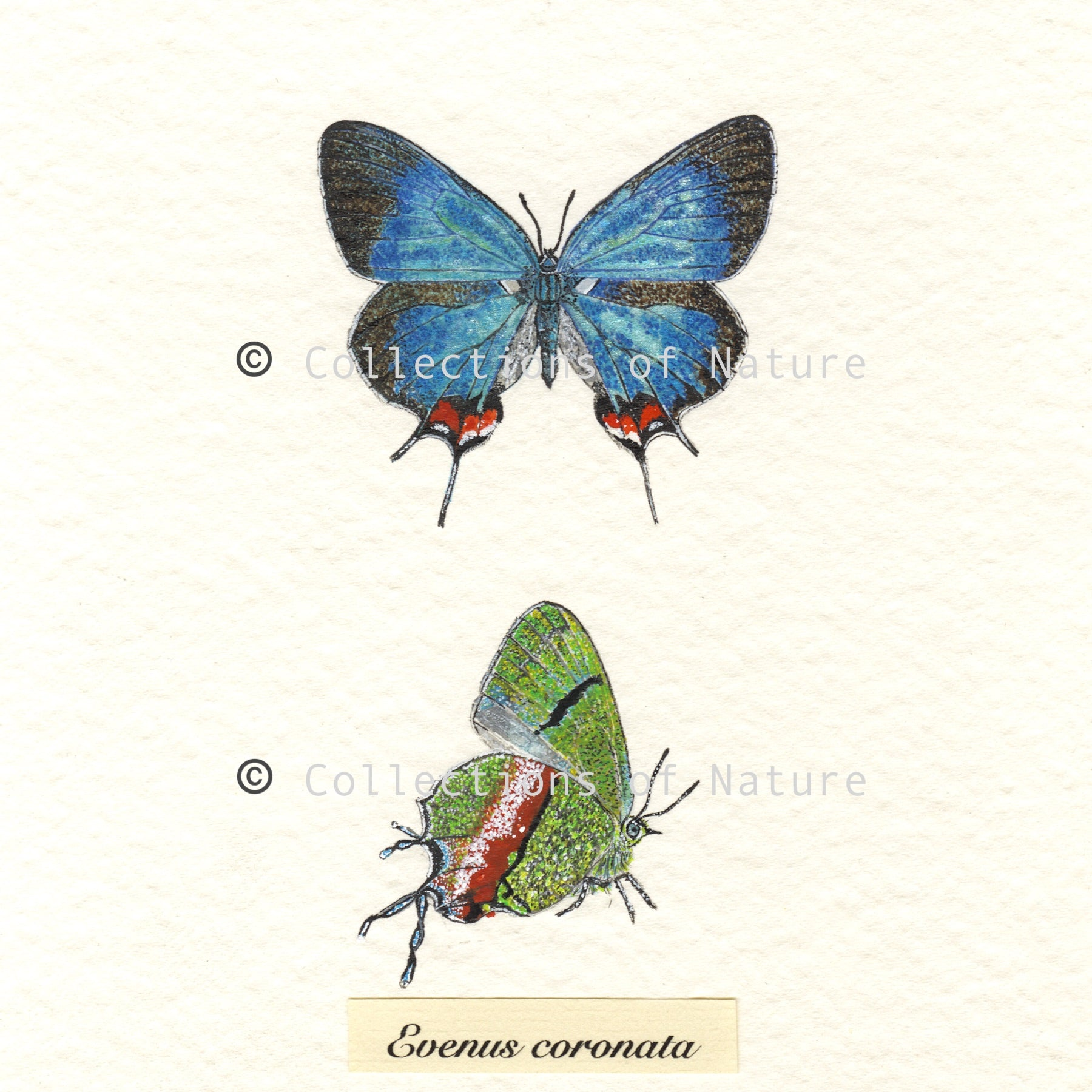 Crowned Hairstreak Butterfly *Limited Edition*