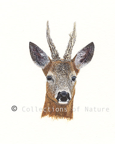 Graceful Buck - Roe Deer