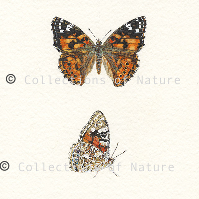 Painted Lady Butterfly  *Limited Edition*