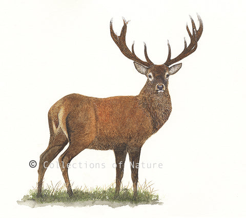 Proud Stag - Red deer