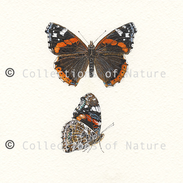 Red Admiral Butterfly * Limited Edition *