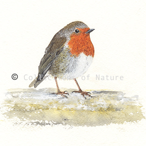 Red Breast Robin