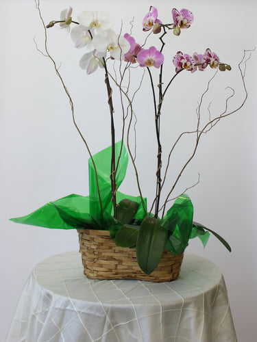 Double Orchid Basket