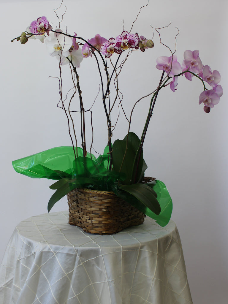 Triple Orchid Basket