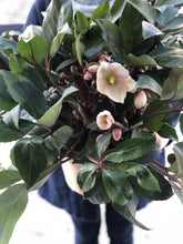 Load image into Gallery viewer, PLANTE - Helleborus