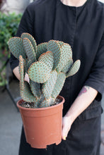 Load image into Gallery viewer, PLANTE - Opuntia microdasys stor