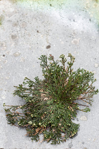 PLANTE - Rose of Jericho
