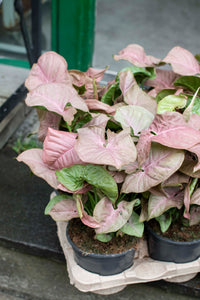 PLANTE - Syngonium Red Heart stor