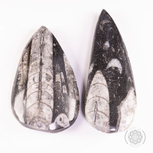 Orthoceras Fossil 50-60g  (Boxed)