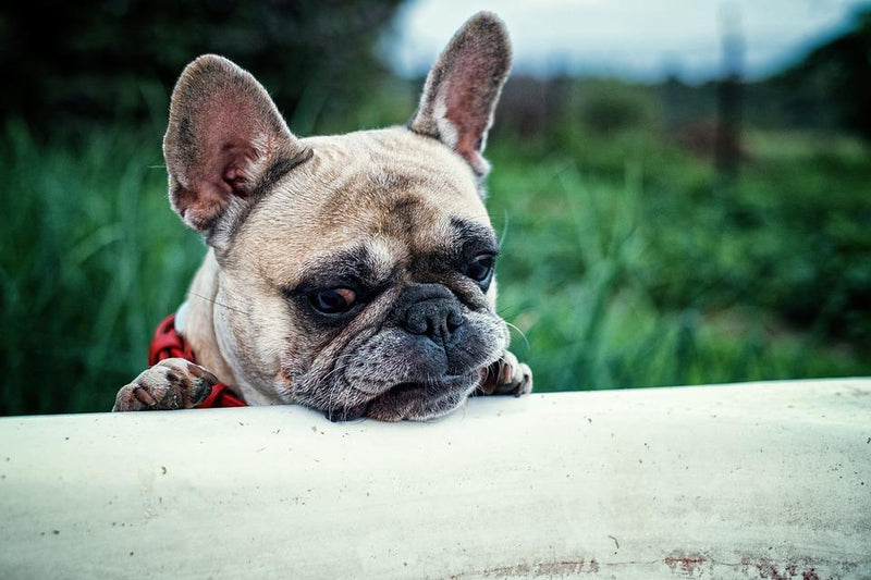 Brachycephalic Dogs: What We Know About Frenchies, Pugs and Bulldogs