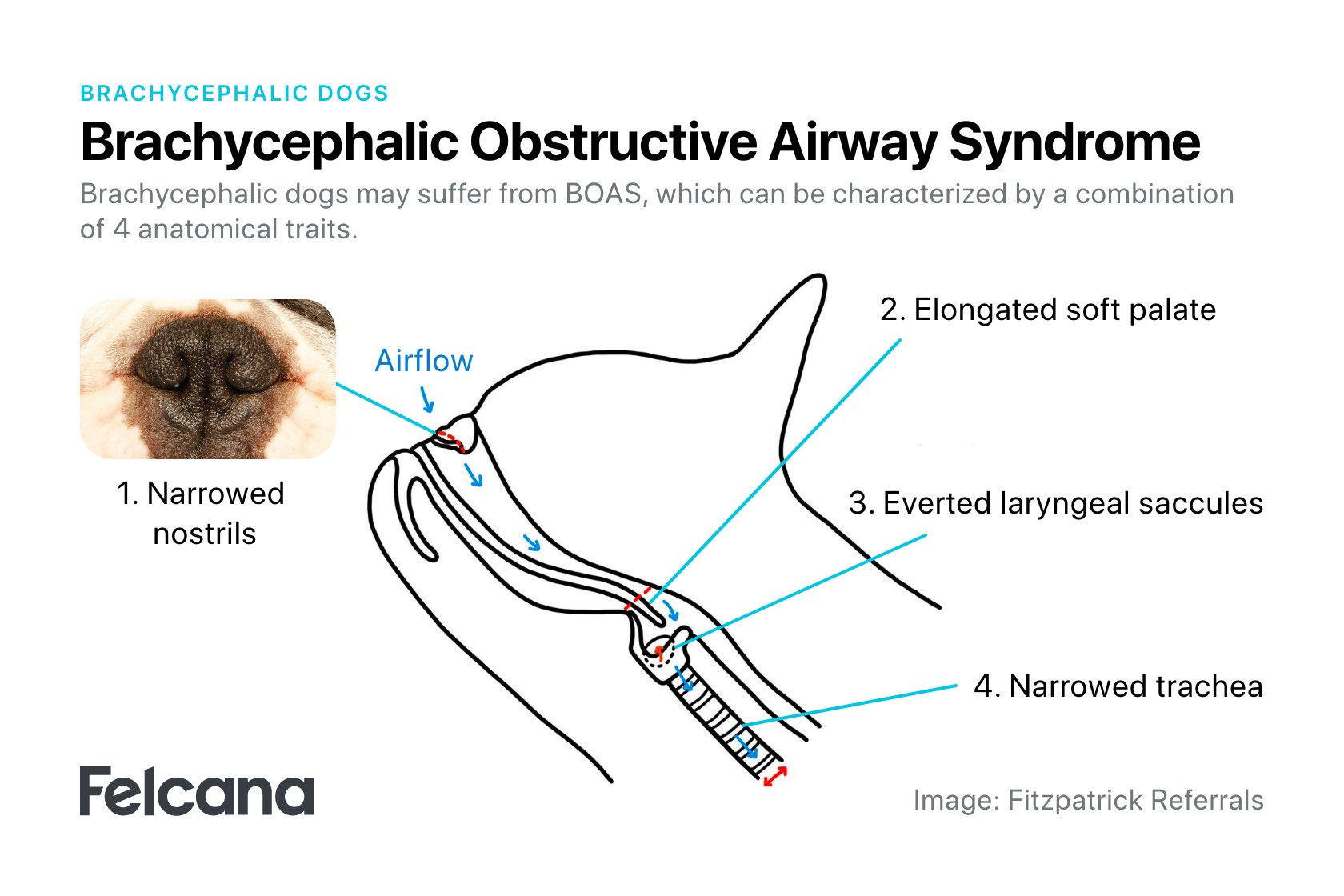 Diagram showing 4 main features of brachycephalic obstructive airway syndrome (BOAS) - Stenotic airways, elongated soft palate, everted laryngeal saccules, narrowed trachea