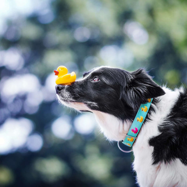 Smart ID Collar - Ducklings