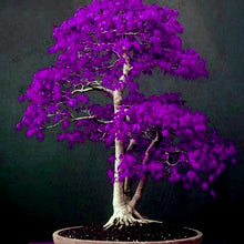 Load image into Gallery viewer, Japanese Purple Ghost Maple Tree Bonsai Flores, Acer Palmatum Atropurpureum Bonsai ,20pcs/bag - OMG Big Sales