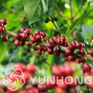 Coffee Bean Bonsai. Tropical bonsai Tree Plant 10PCS - OMG Big Sales
