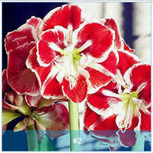 Load image into Gallery viewer, Amaryllis Bonsai Bulbs Barbados Lily Flower Hippeastrum Bulb Hydroponic Root Potted 2 Pcs