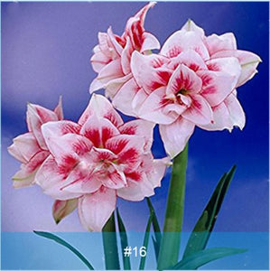 Amaryllis Bonsai Bulbs Barbados Lily Flower Hippeastrum Bulb Hydroponic Root Potted 2 Pcs
