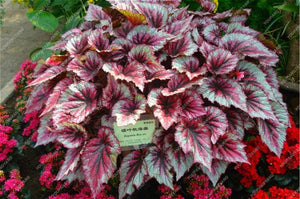 Coleus Flowers Begonia Bonsais 24 Colors 50PCS - OMG Big Sales
