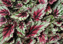 Load image into Gallery viewer, Coleus Flowers Begonia Bonsais 24 Colors 50PCS - OMG Big Sales