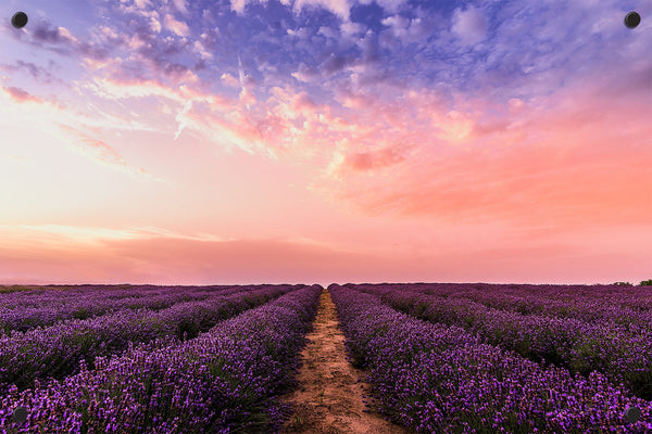 Lavender Fields Outdoor Art Print