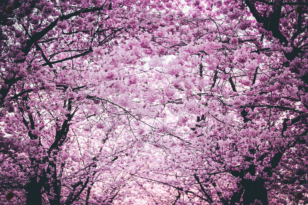 Cherry Blossoms Outdoor Art Print