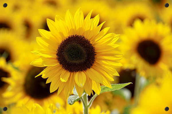 Sunflower Outdoor Art Print