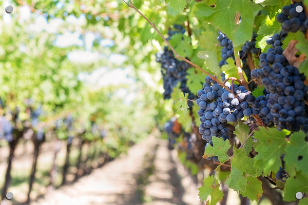 Grapes on the Vine Outdoor Art Print