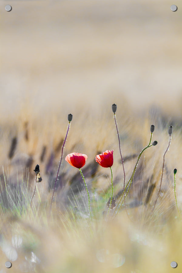 Poppies Outdoor Art Print