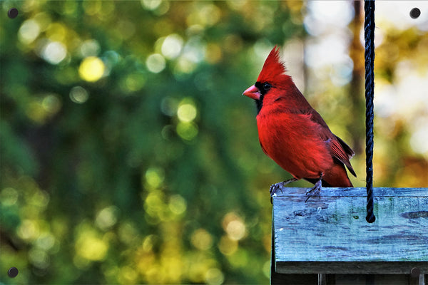 Cardinal Outdoor Art Print