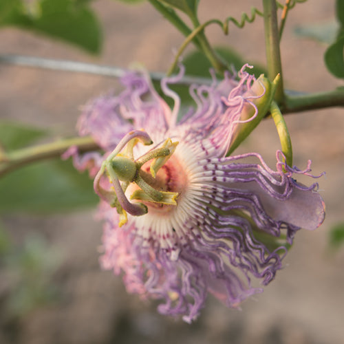 The Passiflora Project