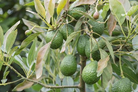 Avocado Trees for Sale from Everglades Farms