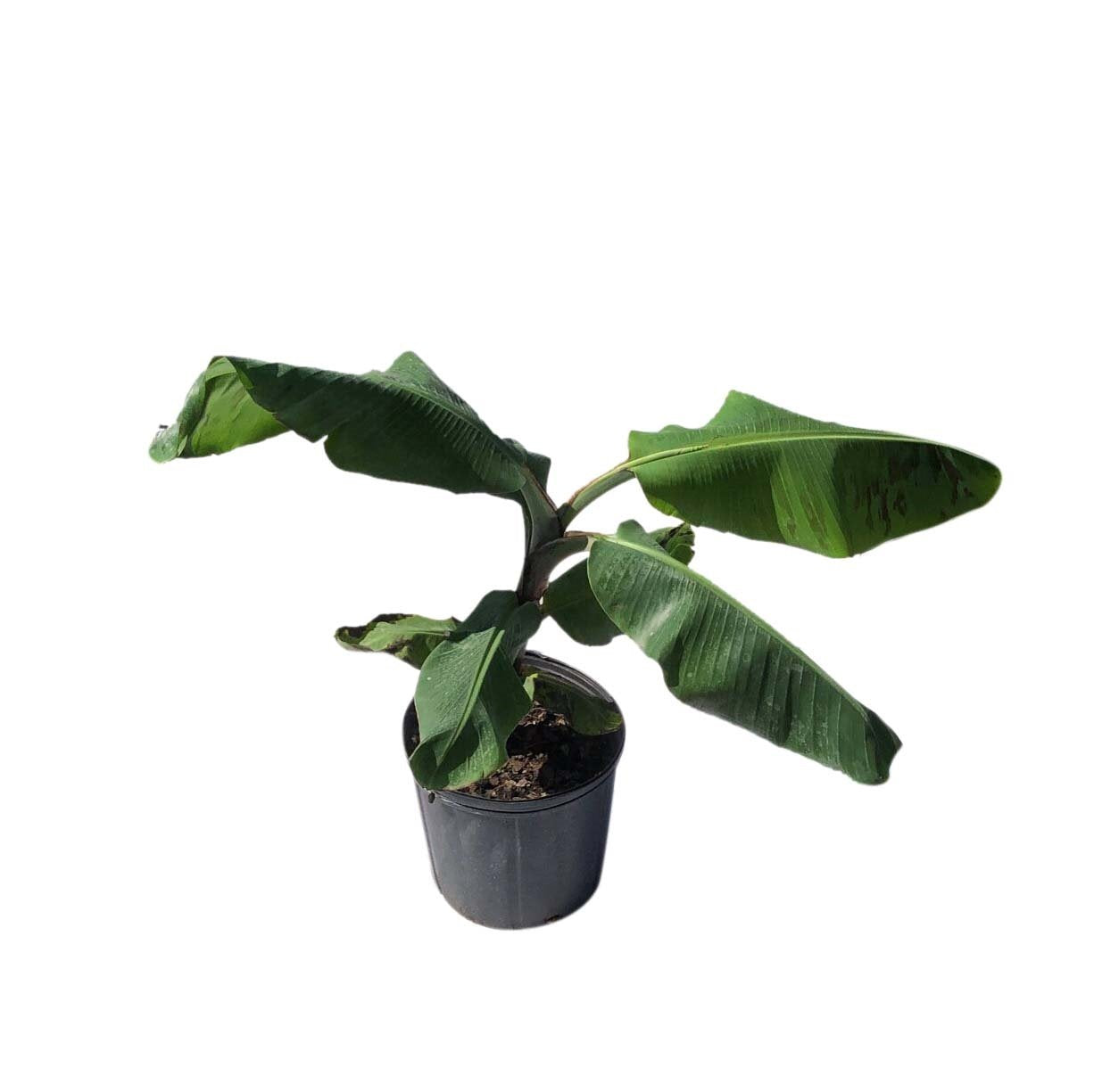 Cavendish Dwarf Banana Plant 3 Gal Container From Florida Everglades Farm