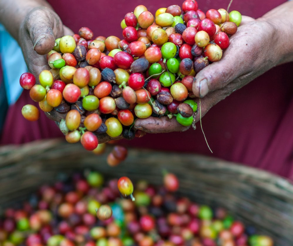 Man holding picked coffee cherries in his hands