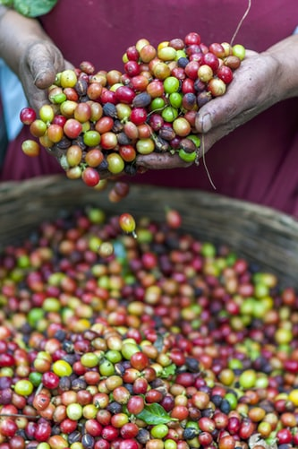 coffee cherries being sorted