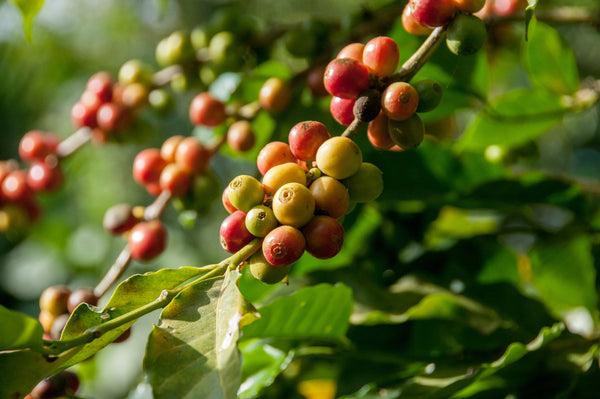Bunches of coffee beans growing on coffee plants with green leaves.