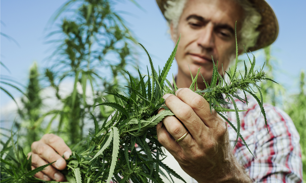 Farmer tending Hemp
