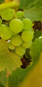 Old Style Grapes