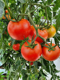 Money Maker Tomato