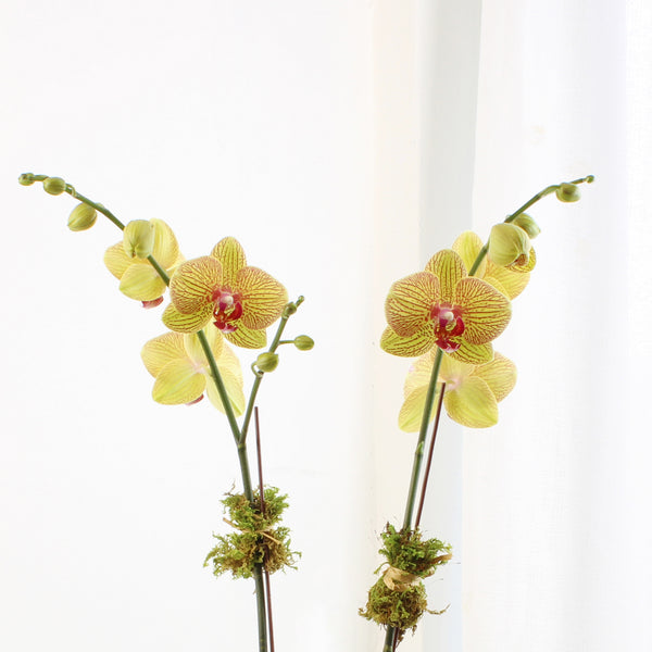 Double Yellow Orchid
