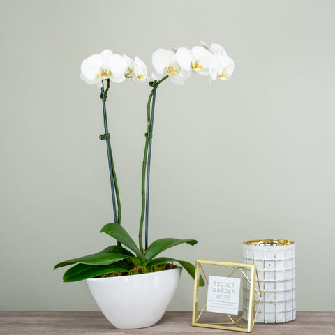 Double White Orchids