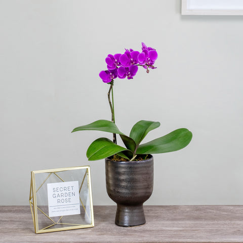Lavender Orchid in Bronze Planter