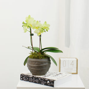 Double Yellow Phalaenopsis Orchid In Clay Planter
