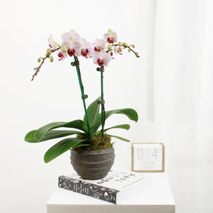 White Orchids With Magenta Center